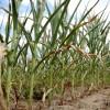 Alerta maíz: siguen sin aparecer perspectivas de lluvias en las regiones bonaerenses necesitadas de agua