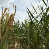 Las lluvias llegaron en el momento justo para el maíz tardío: pero buena parte de la primera tanda del cultivo ya se perdió