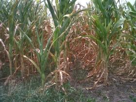 Alerta social: el fracaso de la cosecha gruesa va camino a generar un desastre económico en muchas localidades bonaerenses