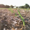 Las coberturas de precios de maíz tardío crecieron más de un 30% ante la perspectiva de una avalancha de oferta