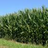 Los precios del maíz habrían tocado piso: de aquí en más la demanda real se encargará de neutralizar las apuestas bajistas de los especuladores