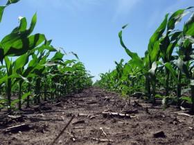 Mercado climático: operadores especulativos vuelven a apostar a favor del maíz luego de errarle el año pasado
