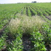 Las malezas contraatacan: Argentina está en emergencia agronómica