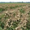 Productores de arroz y maní deberán comenzar a declarar los cultivares sembrados para validar el origen legal de la semilla