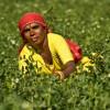 Los precios de importación de los fertilizantes fosfatados siguen derrumbándose por el descenso de la demanda india