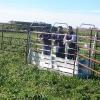 Basta de perder tiempo con cuestiones operativas: desarrollan un dispositivo para que los animales se pesen solos