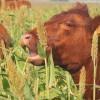 En lo que va del año las exportaciones uruguayas de carne bovina superaron en un 40% a las argentinas casi al mismo valor FOB que en 2014