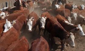 Todos los patagónicos podrán comenzar a comer carne vacuna proveniente del norte de la región: pero con algunas restricciones comerciales