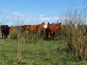 Ojalá construir fuera tan fácil como destruir: gracias a la megaliquidación kirchnerista la oferta argentina de carne vacuna seguirá siendo limitada en 2017