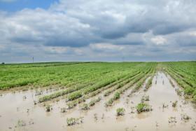 Se inundaron muchos lotes de soja en la principal región agrícola de EE.UU: operadores especulativos redujeron posiciones vendidas