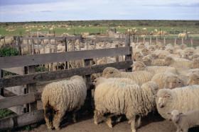 El Senasa vuelve a insistir con la vacunación contra hidatidosis: pero ahora sólo para ovinos y caprinos