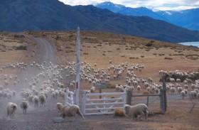 El grupo Benetton es accionista del principal frigorífico exportador de carne ovina: no paga retenciones