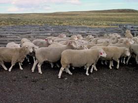 Inauguran frigorífico ovino de Cristóbal López: no paga retenciones