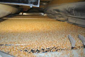 Apenas cinco empresas concentran la mitad del negocio de exportación de maíz pisingallo argentino