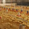 Argentina dejó de exportar pollos a Venezuela: la mayor parte de los envíos ahora se realiza a Medio Oriente