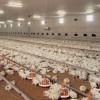 ¿Quiere agregar valor a sus pollos? Exporte a Venezuela