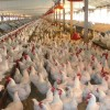 El Senasa dispuso nuevas exigencias para promover la inocuidad alimentaria en la producción de pollos y elaboración de menudencias
