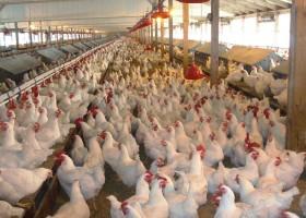 Coma más pollo: el precio de la carne aviar viene cayendo gracias a la sobreoferta promovida por el relajamiento bolivariano