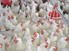 Empezamos mal: en el primer mes del año las exportaciones argentinas de carne aviar cayeron un 27%