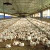 Chile evalúa restringir el ingreso de carne de pollo argentina por medio de una medida antidumping