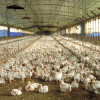 Determinaron nuevas remuneraciones mínimas para trabajadores avícolas con un ajuste anual del 50%