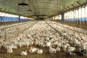 """Se acabaron los valores de remate para los pollos: la carne aviar ahora puede aspirar a venderse a """"precios cuidados"""""""