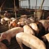"Argentina (im) potencia: llegó al techo la capacidad exportadora del sector porcino a pesar del ""boom"" importador chino"