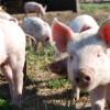 """En lo que va del año ingresaron 633 toneladas de carne de cerdo danesa: se vende en supermercados descongelada como """"fresca"""""""