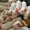 """La cría porcina fue el principal sector beneficiario de la línea """"galpones"""" con una tasa subsidiada del 14%"""