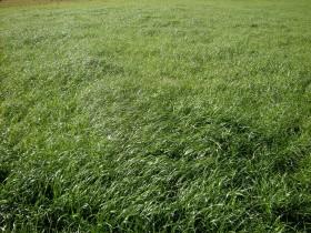 La Argentina se consolida como exportador de semillas de raigrás anual en el mercado europeo