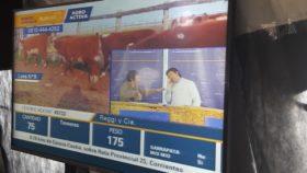 La fábrica de futuros novillos es la categoría más golpeada: el precio de las terneras medido en valor maíz cayó un 38%