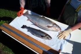 Basta de sushi con piezas diminutas: se aprobó en EE.UU. la comercialización de salmón transgénico de rápido crecimiento
