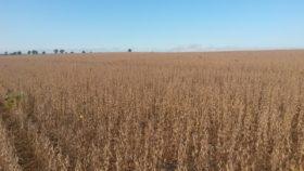 """Se intensifican los """"descuentos"""" en el precio de la soja con el ingreso de la cosecha ante una demanda sobrecomprada"""