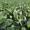 Los exportadores comenzaron a ofrecer cobertura de tipo de cambio para intentar incentivar ventas de soja 2014/15