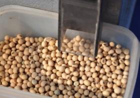 Alerta agronómica: por quinto año consecutivo se derrumbó el nivel proteico de la soja argentina