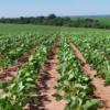 Factor alcista: muchas de las principales regiones sojeras brasileñas necesitan precipitaciones urgentes para evitar una falla productiva
