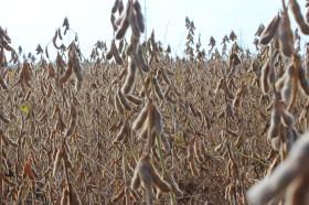 Regalo con fecha de vencimiento: tanto al gobierno como a los productores les conviene vender ahora la mayor cantidad de soja posible