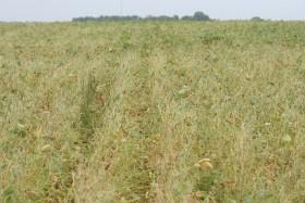 EE.UU: denuncian daños por aplicaciones indebidas de dicamba sobre cultivos de la nueva soja de Monsanto
