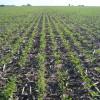 Atención activistas ecológicos: el gobierno nacional promueve el monocultivo de soja por medio de la asfixia del maíz