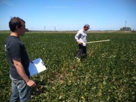 En la última campaña de soja los cultivares más destacados en la zona núcleo pampeana le sacaron una ventaja enorme al resto