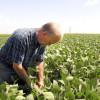 Siguen apareciendo noticias alcistas para la soja: estiman que el USDA debe seguir desinflando los números proyectados de la cosecha estadounidense