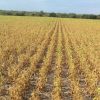 Los fondos especulativos se subieron al mercado climático: fuerte alza de las cotizaciones de la soja en Chicago