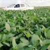 """Apostar a lo """"seguro"""" fue un pésimo negocio: en la zona núcleo pampeana el margen proyectado del maíz temprano es cinco veces superior al de la soja de primera"""