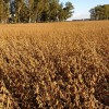 Cada vez más dependientes de la soja: es récord la participación del complejo oleaginoso en la matriz exportadora argentina