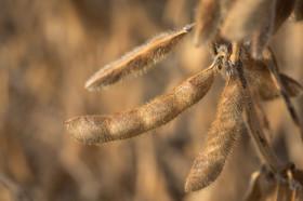 En 2014 el canon biotecnológico de la soja Intacta pasará a ser un costo variable: cómo se implementará el nuevo sistema