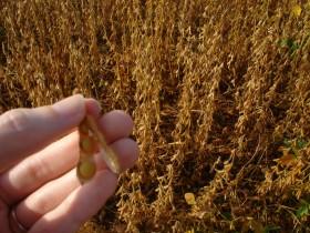 El nivel de proteína de la soja es el más bajo de los últimos dieciséis años: posible nuevo criterio de comercialización para la oleaginosa