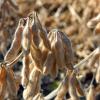 Soja orgánica: un negocio de nicho con sobreprecios de hasta 110% con respecto al poroto convencional