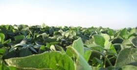 Soja: en el mercado a término es posible asegurarse un precio de 1850 $/tonelada para entrega en septiembre