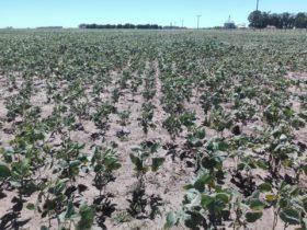 Alerta macroeconómica: estiman que la cosecha argentina de soja será de apenas 40 millones de toneladas