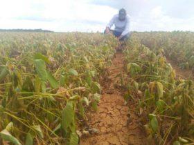 Estimación oficial de la Conab: Brasil se encamina a lograr una gran cosecha de soja a pesar de las restricciones hídricas